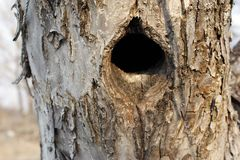 Black hole in a tree trunk, the entrance to the bird& x27;s nest is an old tree, bark. Black hole in tree trunk as entry to bird nest hollow wood old background stock photo