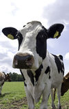 Black Holstein cow, standing Stock Photography
