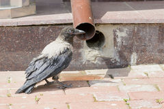 Black Hooded Crow Drinking Royalty Free Stock Images