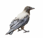 Black Hooded Crow Stock Photography
