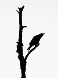 Black hooded crow silhouette. Black and white Royalty Free Stock Photography