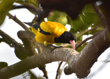 Black hooded oriole lunching. Black hooded oriole relishing a caterpillar Stock Photography