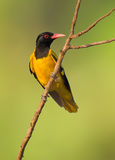 Black Hooded Oriole bird Royalty Free Stock Image