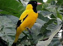 Black Hooded Oriole. Bird - Scientific name - Oriolus xanthornus. Family - Oriolidae. Order - Passeriformes. Location - Manas National Park, Assam, India royalty free stock photography