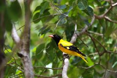 The black-hooded oriole Oriolus xanthornus royalty free stock images