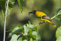 Black-hooded oriole eating carterpillar in Nepal Stock Photo