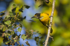 Black-hooded oriole immature in Nepal Stock Photos