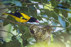 Black-hooded oriole in Minneriya National Park, Sri Lanka Royalty Free Stock Photo