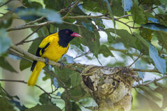 Black-hooded oriole in Minneriya National Park, Sri Lanka Stock Photography