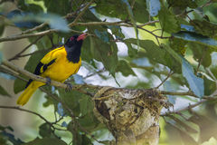 Black-hooded oriole in Minneriya National Park, Sri Lanka Royalty Free Stock Images