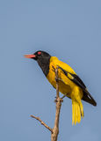 Black Hooded Oriole Royalty Free Stock Photo