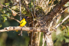 A Black-hooded Oriole perched on a tree branch Stock Images