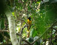 A black hooded oriole searching for food in the woods stock photography