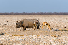 Black hook-lipped rhino and two springbok antelopes standing at waterhole in Etosha nationa. Black hook-lipped rhino and two springbok antelopes standing at Stock Images
