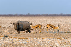 Black hook-lipped rhino and two springbok antelopes standing at waterhole in Etosha nationa. Black hook-lipped rhino and two springbok antelopes standing at Royalty Free Stock Image