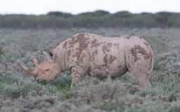 Black (hooked-lipped) rhinoceros (Diceros bicornis) Royalty Free Stock Photography
