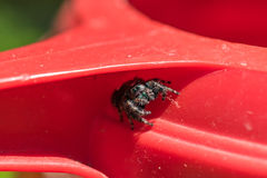 Black Hopping Spider. Hiding inside the handle of a watering can on a Summer afternoon. Very sharp detail in the eyes of this beautiful creature Stock Image