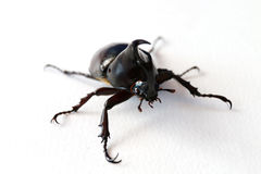 Black horn beetle. The black horn beetle on the white paper background Stock Photography