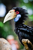 Black Hornbill. At bali bird park bali indonesia Royalty Free Stock Images