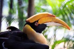 Black hornbill close up Stock Photo