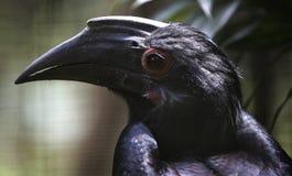 Birds seen in Kuala Lumpur Bird Park. Black Hornbill seen in bird park in Kuala Lumpur, November 30, 2017 Stock Images