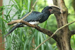 Black hornbill Stock Image