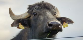 Black horned cow  and sky royalty free stock images