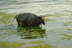 Black horned cow standing in the rippling water of river Danube. Back cow standing in the water of river Danube on the Romanian countryside - Bos Taurus stock photo