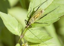 Black-horned Tree Cricket Royalty Free Stock Photo