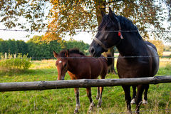 Black horse. And green grass in village Royalty Free Stock Images