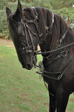 Black Horse. A very beautiful black angry horse Stock Photography