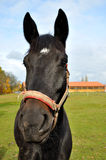 Black horse. Looks at you royalty free stock photos