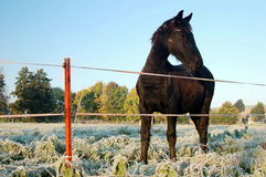 Black horse. Behind the pasture fence early at the morning Stock Photography
