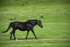 Black horse Royalty Free Stock Image