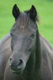 Black horse. A beautiful portrait of a black horse royalty free stock photography