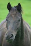 Black horse Royalty Free Stock Photography