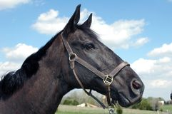 Black Horse. Black thoroughbred horse in a field against blue sky Stock Photos