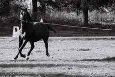 Black horse. Running for training Royalty Free Stock Photography
