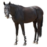 Black horse Royalty Free Stock Image
