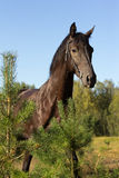 Black horse Stock Image