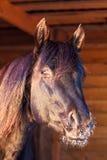 Black horse. Trakehner black stallion portrait on farm Stock Photography
