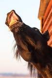 Black horse. Trakehner black stallion horse smile Royalty Free Stock Photo