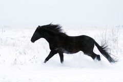 Black Horse. Trakehner black stallion run in snow field Royalty Free Stock Photos