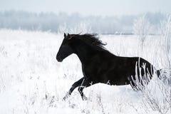 Black Horse. Trakehner black stallion run in snow field Stock Photography