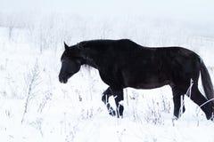 Black Horse. Trakehner black stallion run in snow field Stock Image