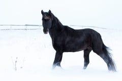 Black Horse. Trakehner black stallion walk in snow field Royalty Free Stock Photos