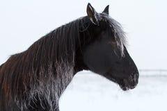 Black Horse. Frozen black stallion horse in snow field Royalty Free Stock Image