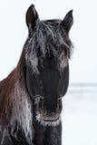 Black Horse. Frozen black stallion horse in snow field Stock Image