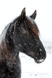 Black Horse. Trakehner black stallion in blizzard Royalty Free Stock Photography