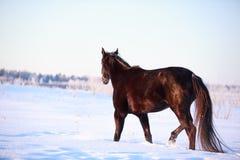 Black horse. Trakehner black stallion walk in snow field Royalty Free Stock Image